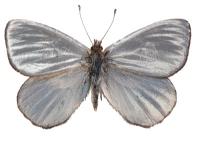 212_argyrophorusargenteousin1019m131.jpg